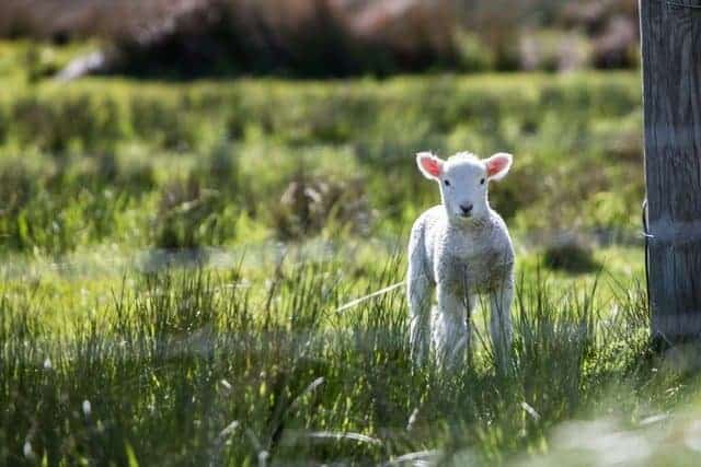 lamb in green field